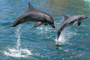 bigstock-Jumping-Dolphins-2566638.jpg
