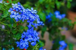 bigstock-Blue-Flowers-Blue-Flowers-In--2