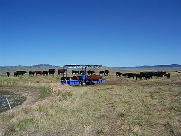 Cattle drinking from a water trailer versus the dugout directly