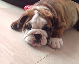 8 week old British Bulldog puppy called Spike