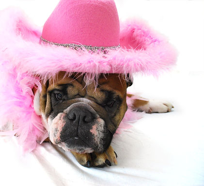 British Bulldog Beau professionally photographed in Pink fluffy hat