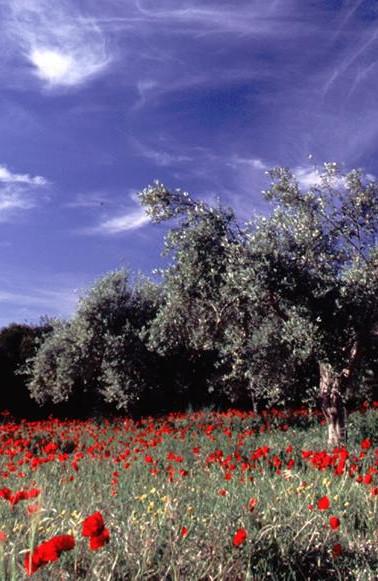 Messinia's flora.jpg