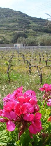 geranium&vines.jpg
