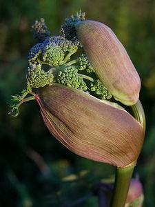 פרח ברוקולי