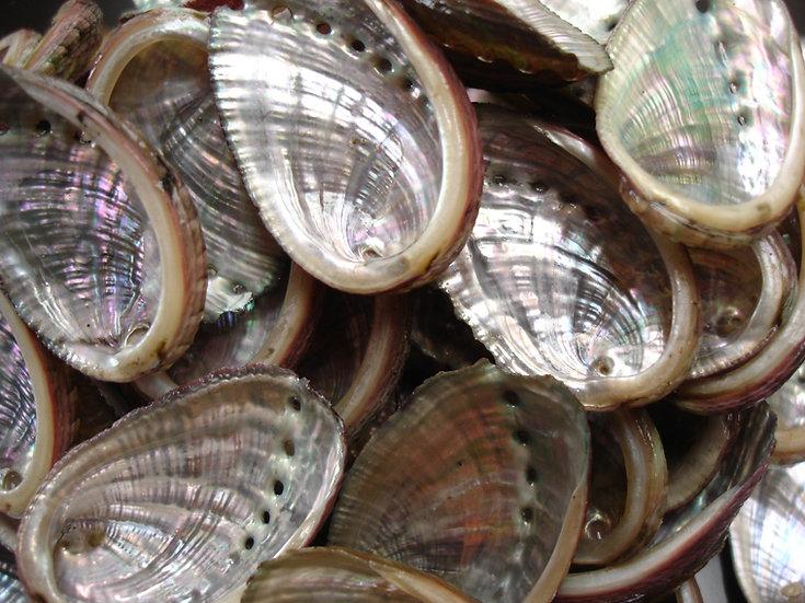 Coquilles d'ormeaux d'élevage brutes
