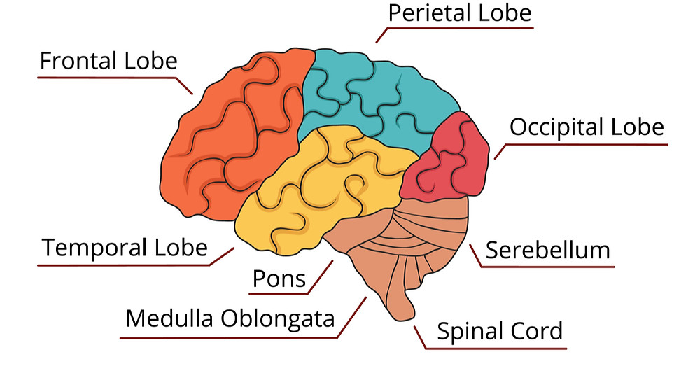 https://wholenesshealing.com/wp-content/uploads/2008/05/Prefrontal-Cortex.jpg