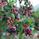 Saskatoon Berry.jpg