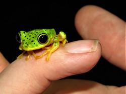 Tree Frog, Indonesia