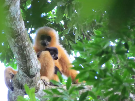 10 amazing facts about Hainan gibbons