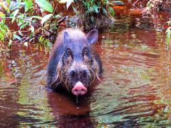 Bearded Pig, Indonesia