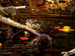 Otter, Indonesia