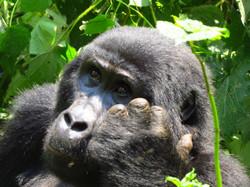 Female Gorilla, Uganda