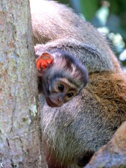 Vervet Monkey, Uganda