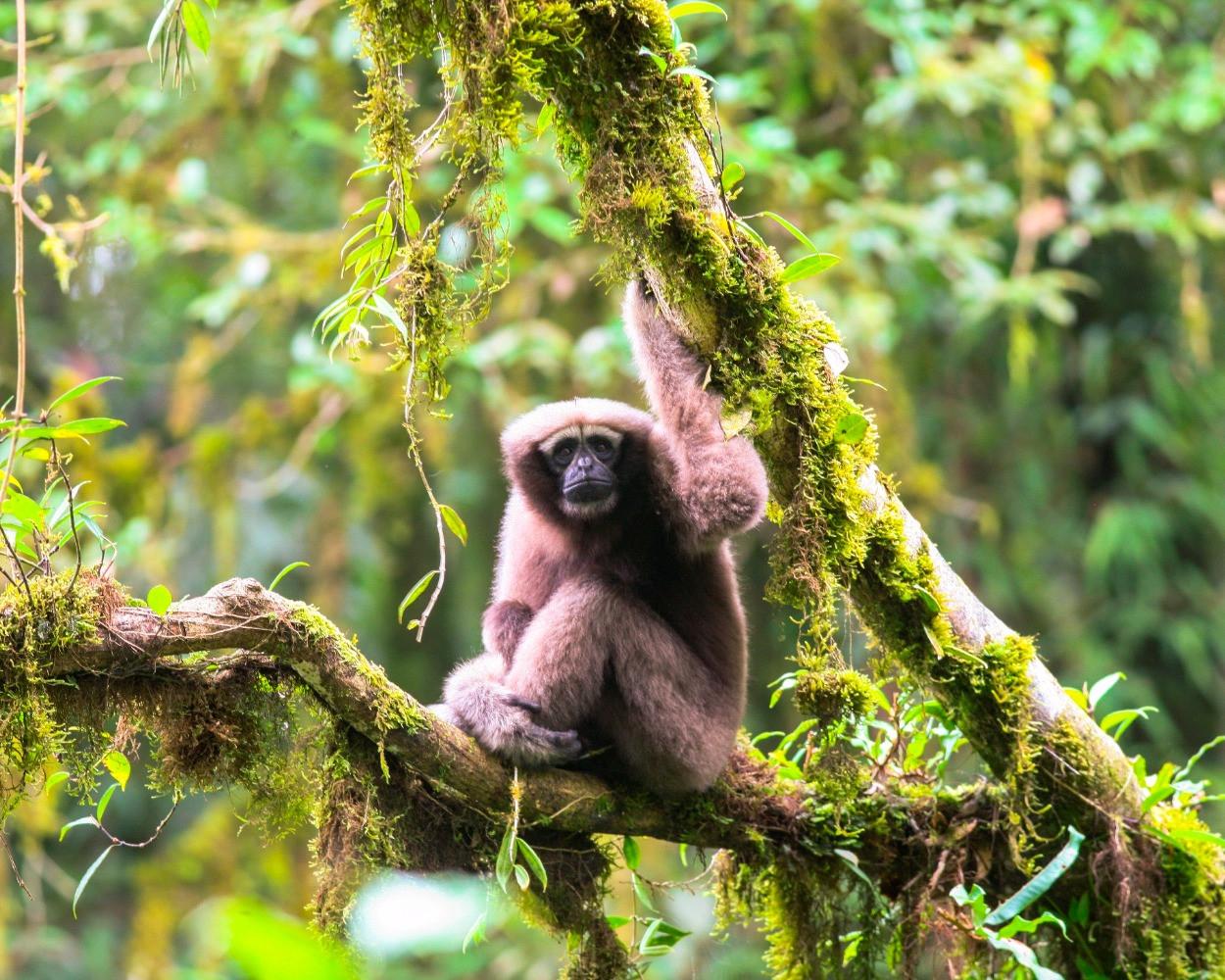 Skywalker gibbon (Hoolock tianxing)