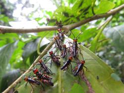 Bug Ball, Panama