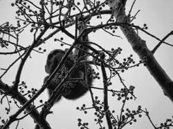 Infant Chimpanzee, Uganda