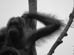 Female Orangutan, Indonesia