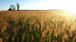 Wheat field, Madagascar