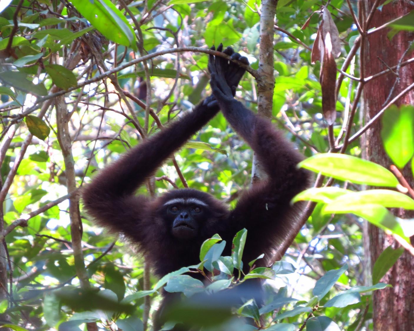 Bornean Agile gibbon (Hylobates albibarbis)