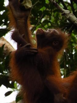 Infant Orangutan, Indonesia