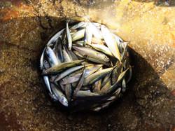 Fish, Indonesia