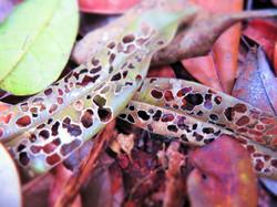 Leaves, Indonesia