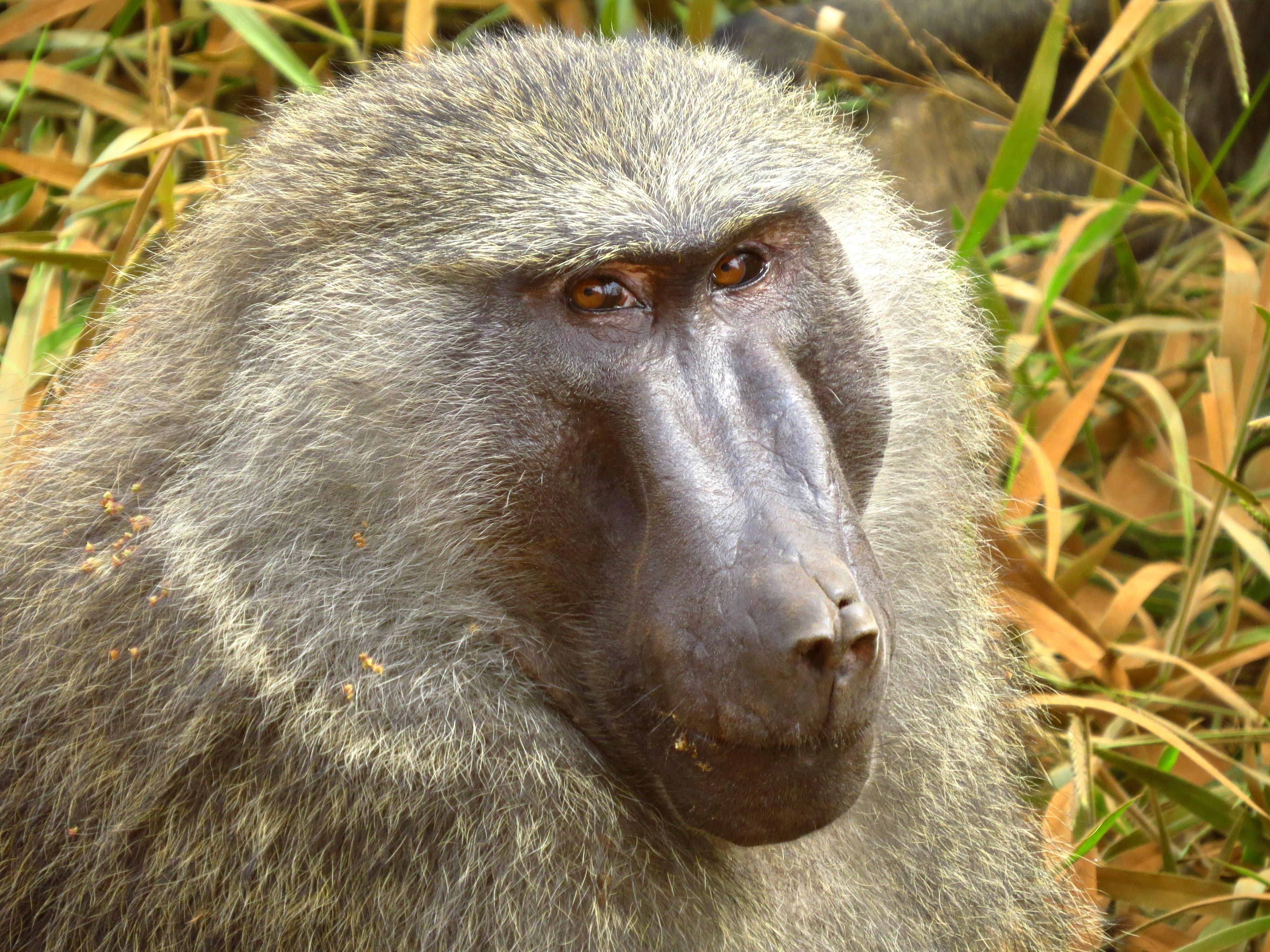Olive Baboon, Uganda