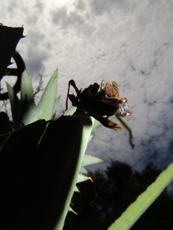 Praying Mantis, Indonesia