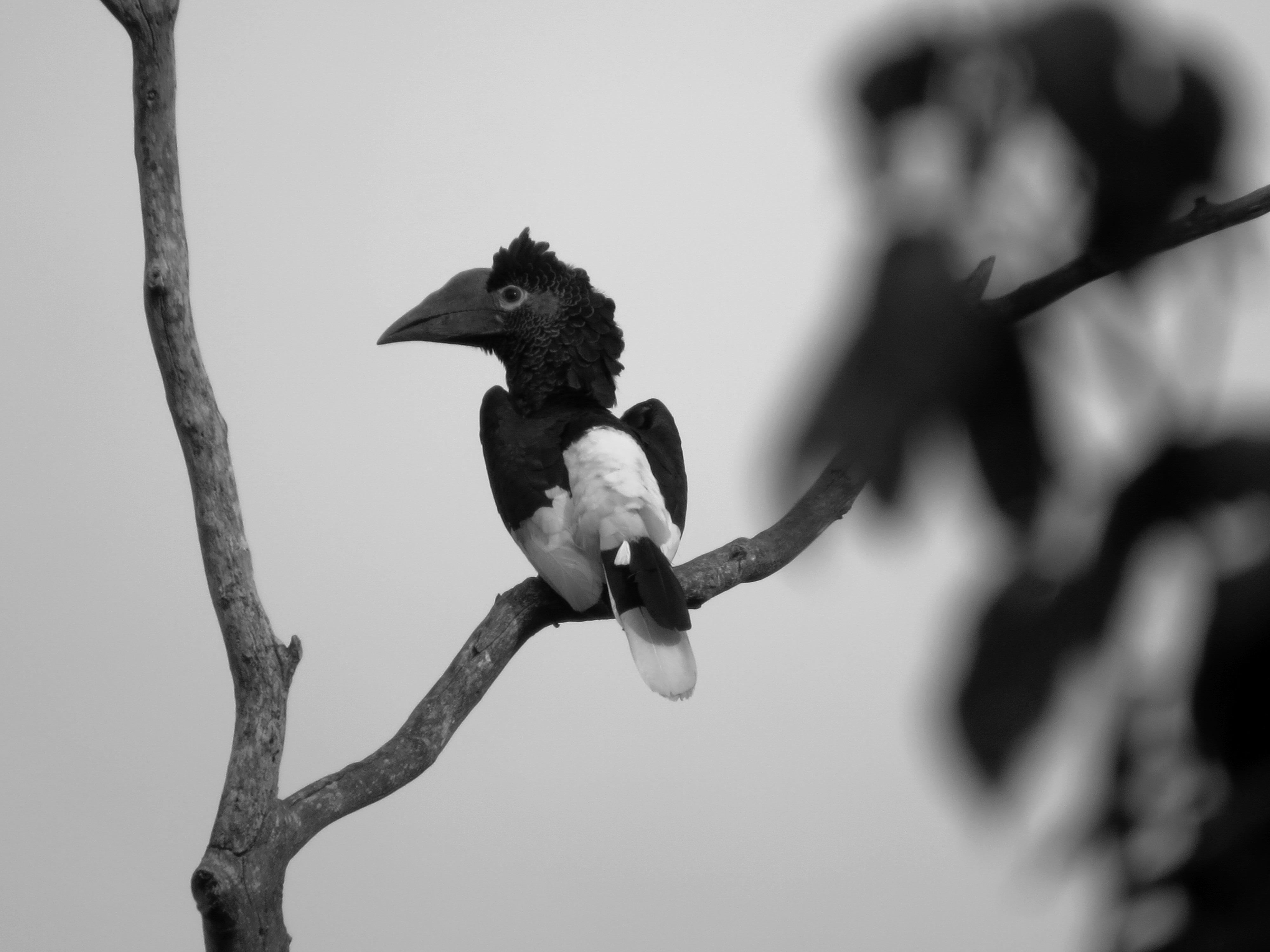 Hornbill, Uganda