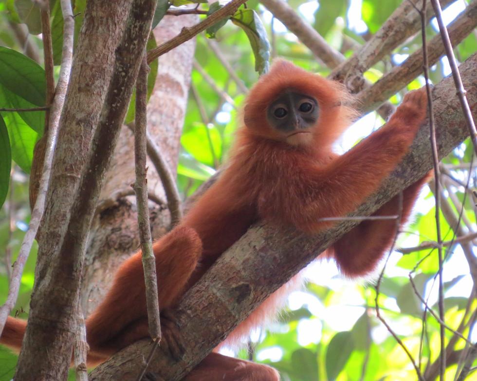 Red leaf monkey (Presbytis rubicunda)