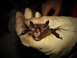 Bat Research, Indonesia