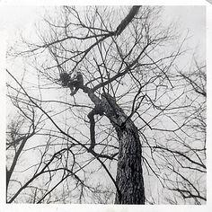 peaden in a tree 1960.jpg