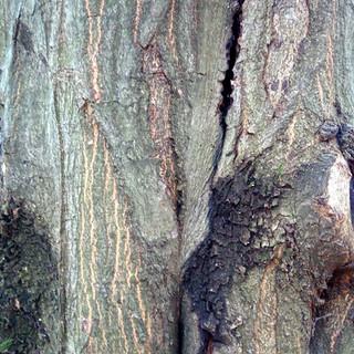 Carpino Bianco Corteccia.jpg