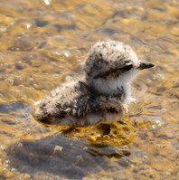plover chick.jpg