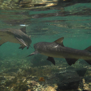 Juvenile Lemon Sharks 2.jpg
