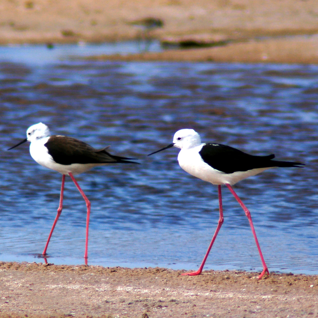 Black-Winged Stilts.jpg