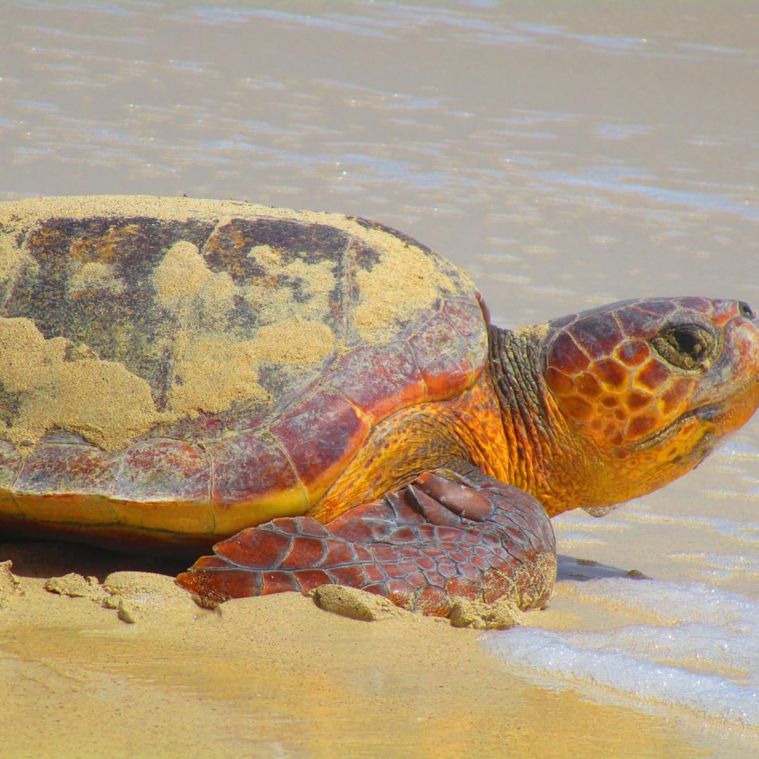 Turtle Walks2.JPG