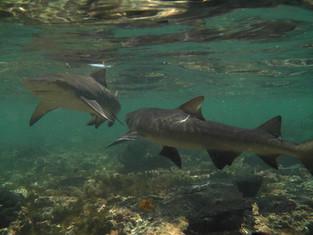 Juvenile Lemon Sharks 2.jpg