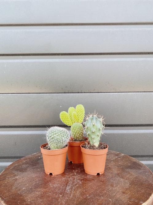 3 For $12 Mini Cacti
