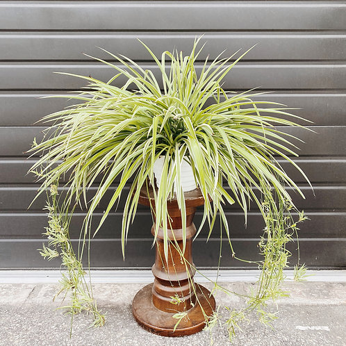 "8"" Spider Plant"