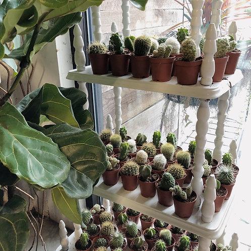 """2"""" Mini Cactus"""