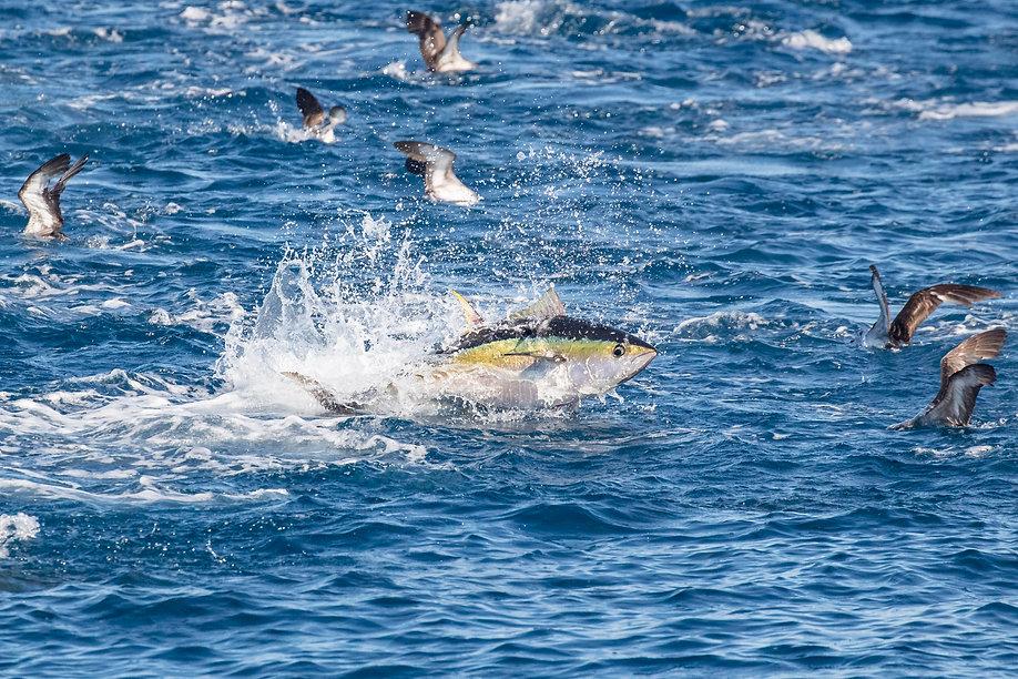 Yellowfin Tuna Guatemala