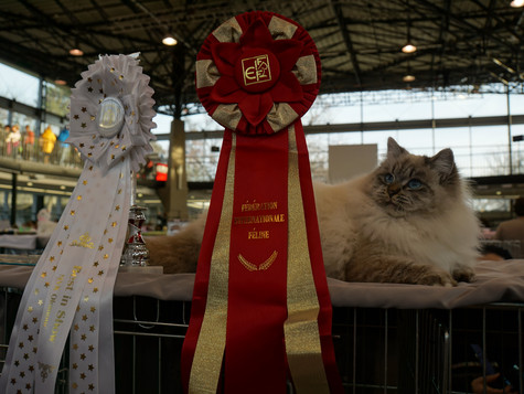 Międzynarodowa wystawa kotów rasowych w Ołomuńcu w Czechach / cat show in Olomouc in Czech Republic