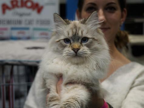 23-24.11.2019r Międzynarodowa wystawa kotów rasowych w Koninie / cat show in Konin