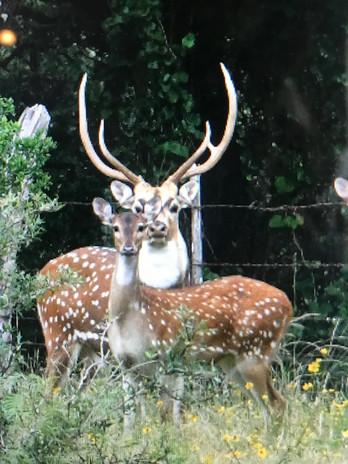 summer-axis-hunts-south-texas