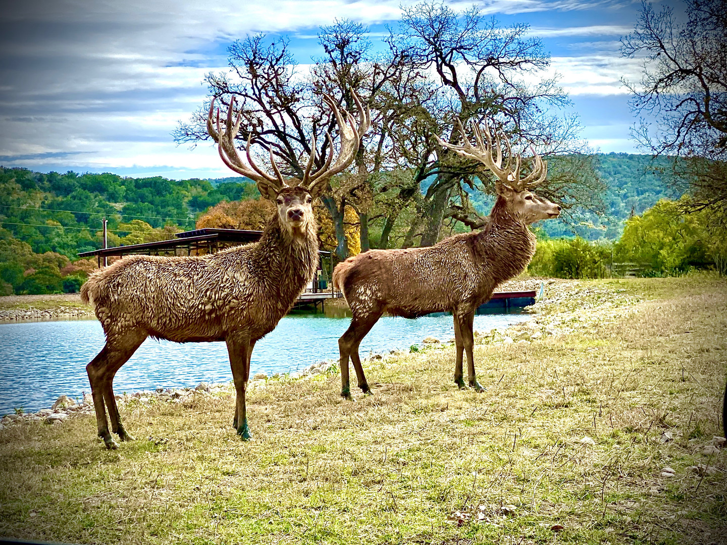 red-stag-hunts-in-texas