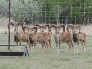transcaspian-ram-hunts-south-texas