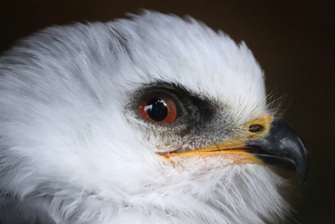 Eye of a White-Tailed Kite