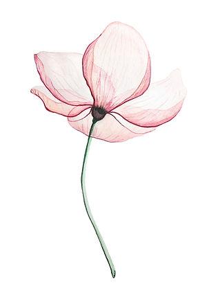 Pink%20Magnolia%20flower%2C%20on%20a%20w