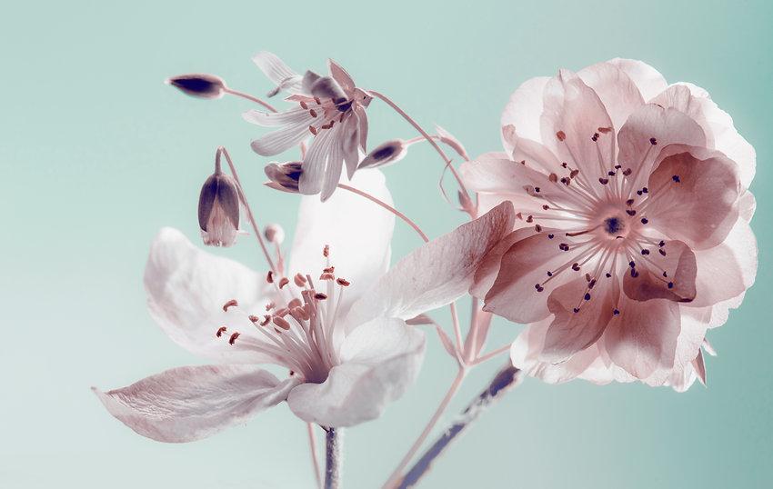 spring flowers . buds closeup, white pet